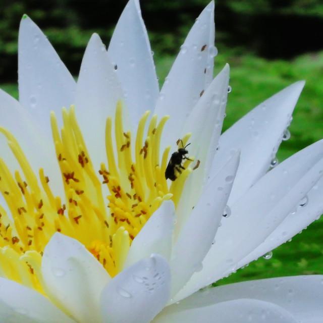 """White Waterlilies - Image 14"" stock image"