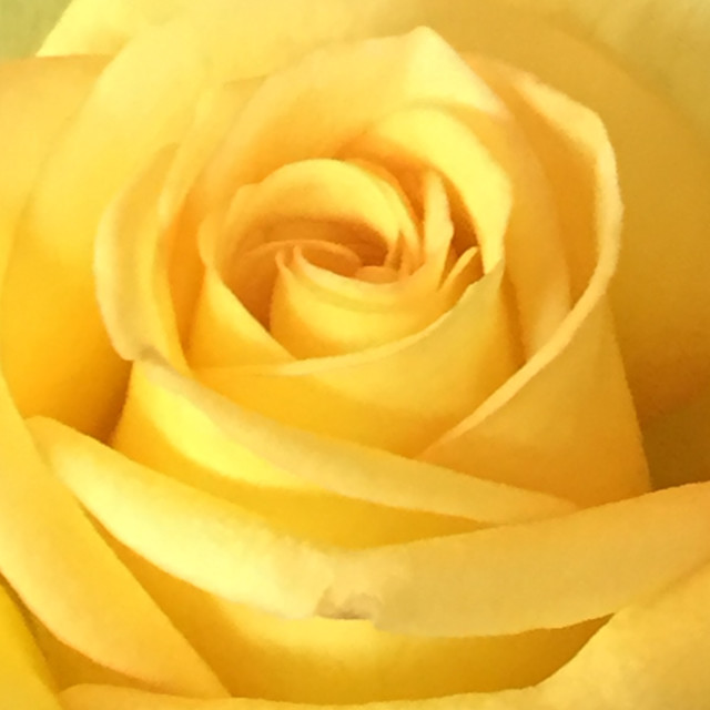 """Yellow Rose - extreme closeup"" stock image"