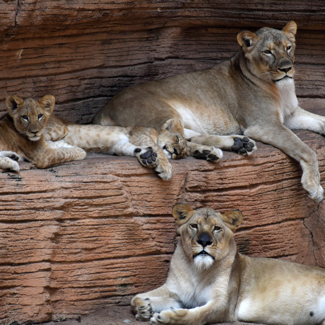 """""""Lioness and Pride"""" stock image"""