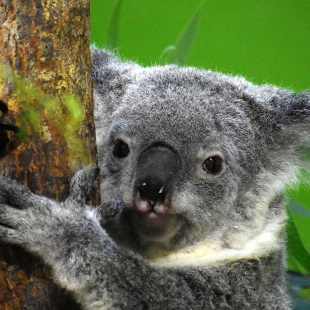 """Koala Bear"" stock image"