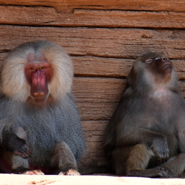"""""""Baboons with Attitude"""" stock image"""