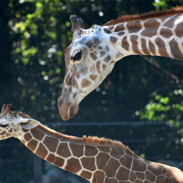 """Giraffes"" stock image"
