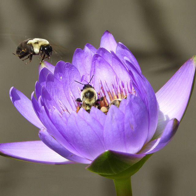"""""""Multiple Bees with Purple Lotus"""" stock image"""