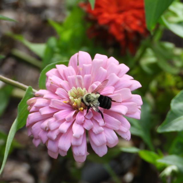 """Bee on Zinnia"" stock image"