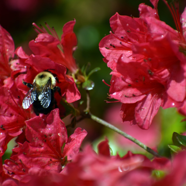 """Bee on Azalea"" stock image"