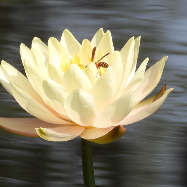 """""""Wasp in Waterlily"""" stock image"""