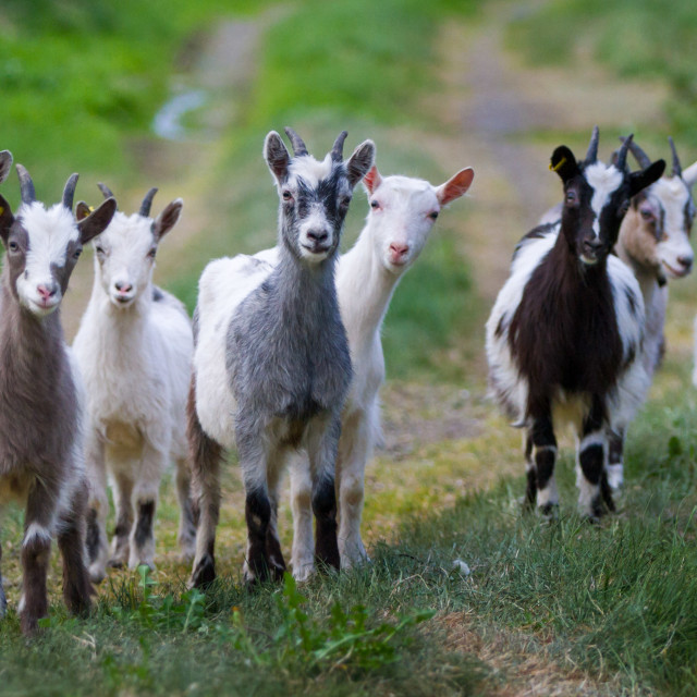 """Goats' Welcome"" stock image"