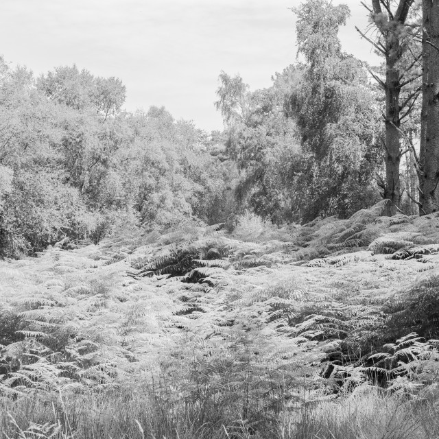 """Wareham Forest"" stock image"