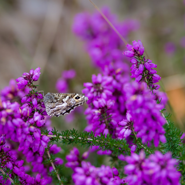"""""""Grayling Butterfly"""" stock image"""
