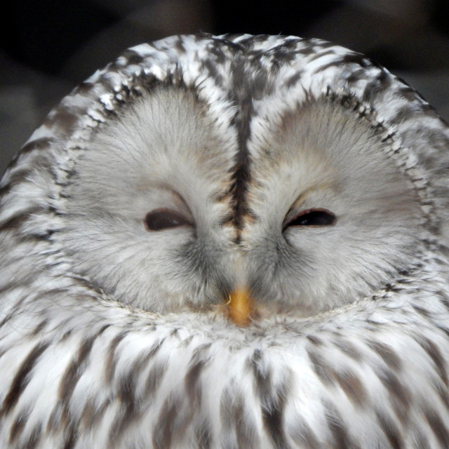 """Ural Owl"" stock image"