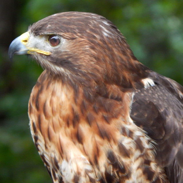 """""""Red-tailed Hawk"""" stock image"""