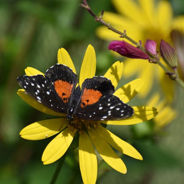 """Black & Orange Butterfly on Yellow Flower"" stock image"