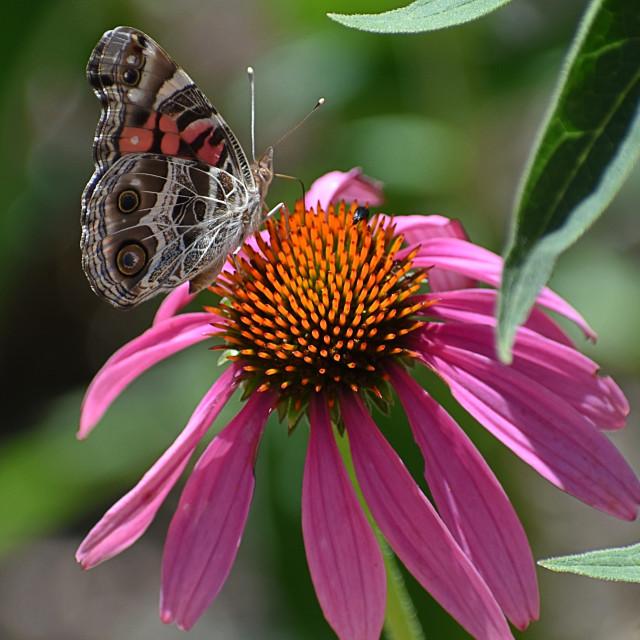 """Butterfly on Purple Daisy"" stock image"