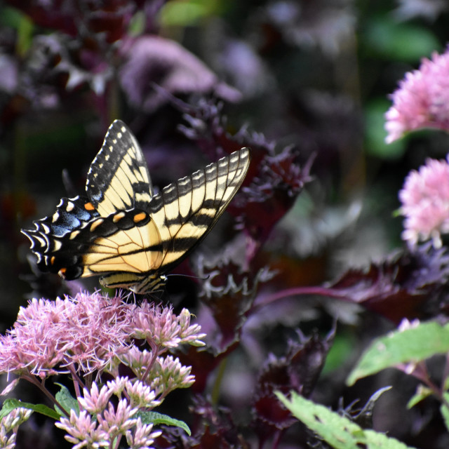 """""""Swallowtail Butterfly with Purple Flowers"""" stock image"""