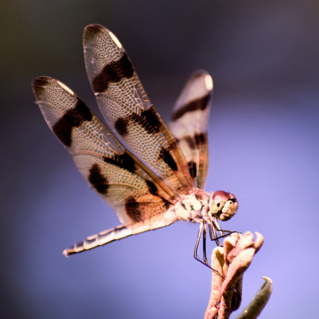 """""""Striped Dragonfly"""" stock image"""