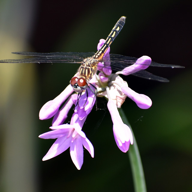 """""""Dragonfly on Purple Flower"""" stock image"""