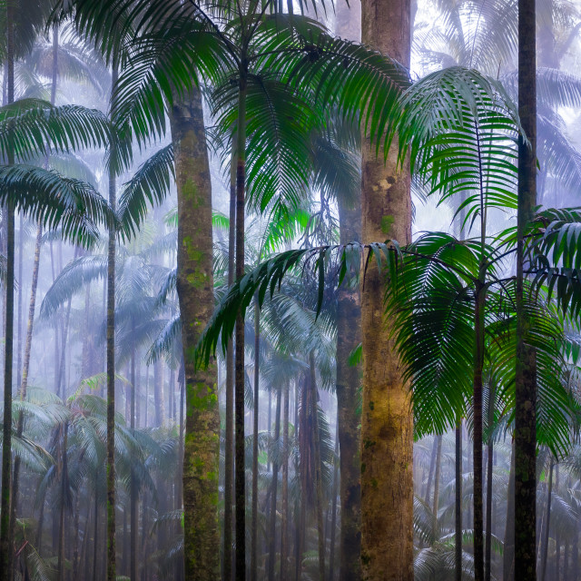 """Misty Palm Forest"" stock image"