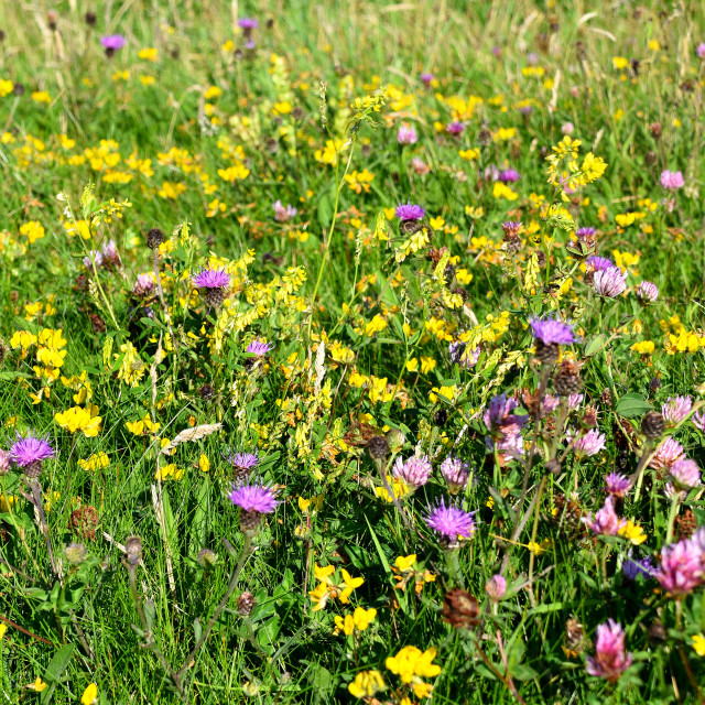 """Wild Flowers on Pembrokeshire Coast"" stock image"