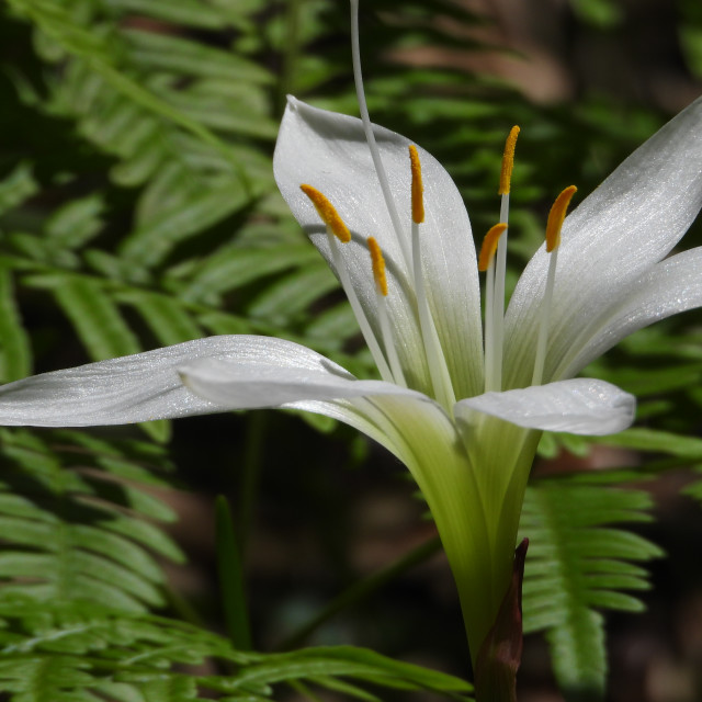 """""""Lily in Fern"""" stock image"""