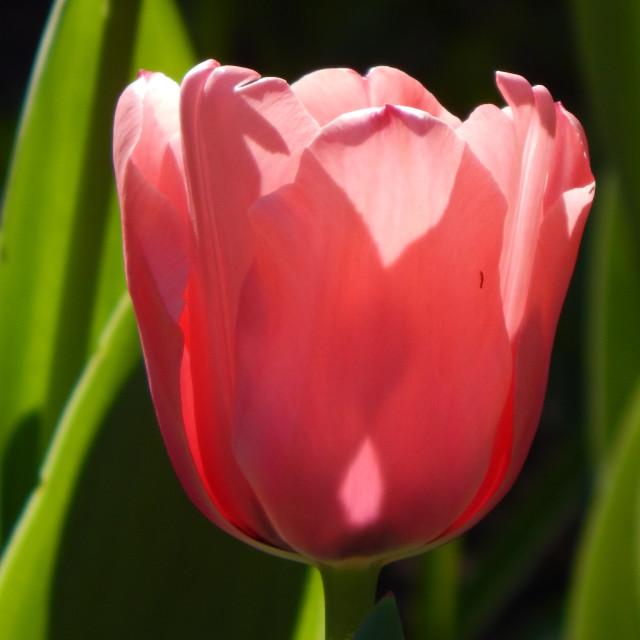 """Pink Tulip"" stock image"