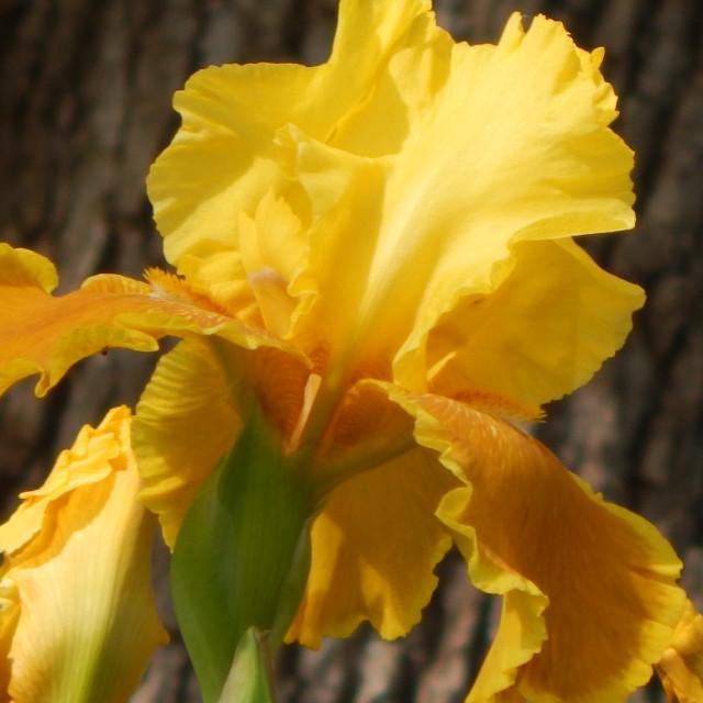 """""""Yellow Iris"""" stock image"""