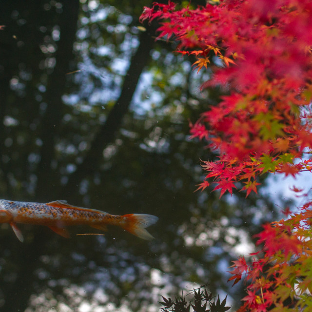 """Koi swimming under an autumn Japanese maple"" stock image"