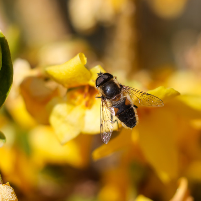"""""""Hover Fly"""" stock image"""