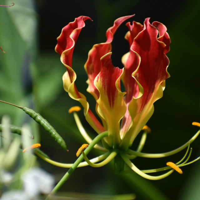 """""""Flame Lily"""" stock image"""
