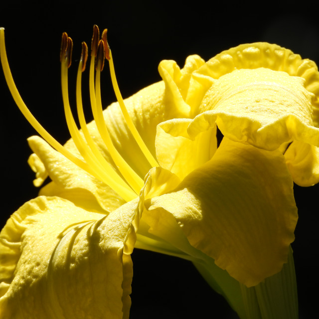 """Yellow Lily closeup"" stock image"