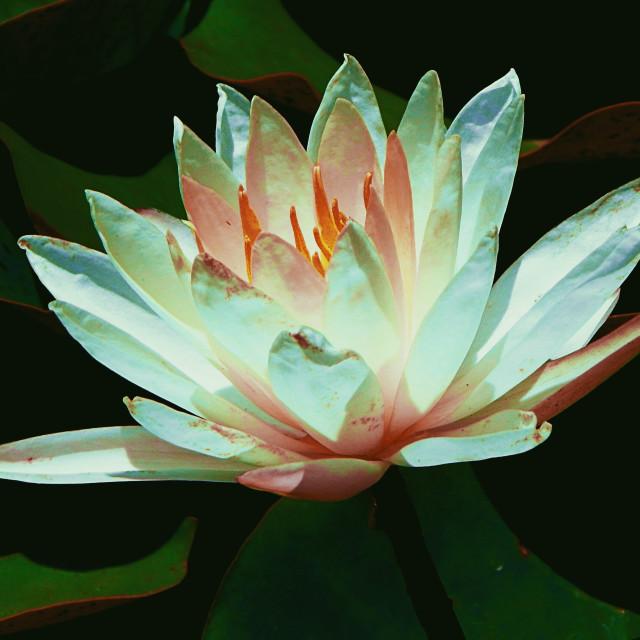 """Colorful Lotus"" stock image"