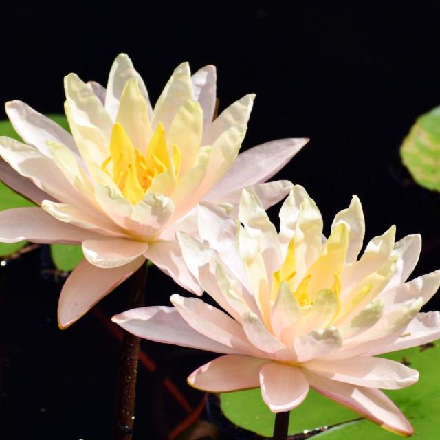 """Double Pink Lotus"" stock image"