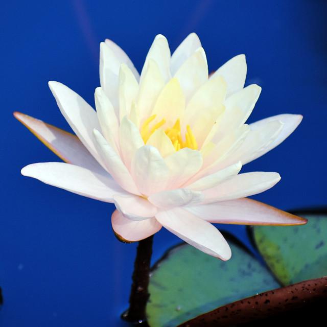 """""""Lotus with Blue Background"""" stock image"""