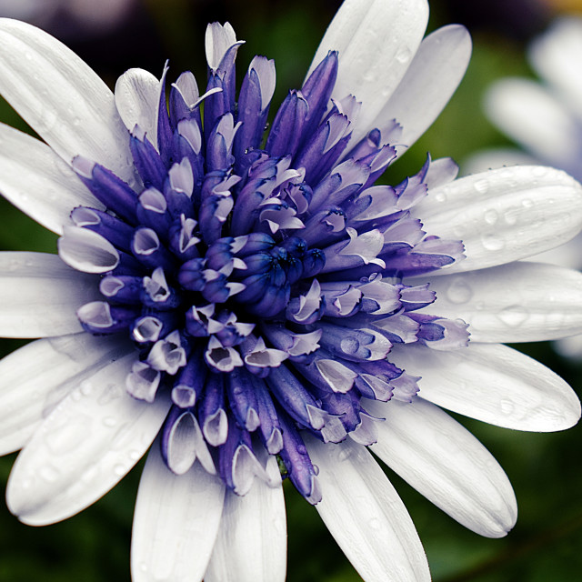 """Rain-kissed Purple and White Flower"" stock image"