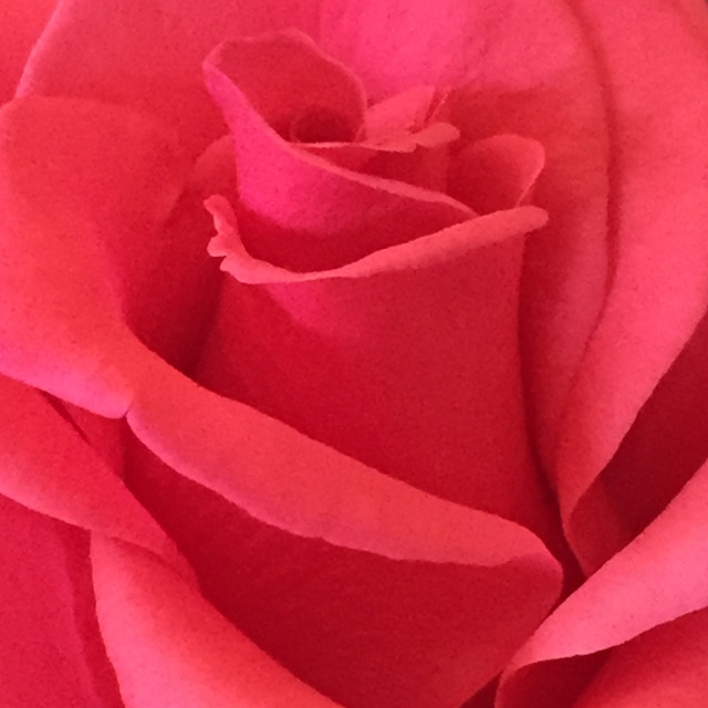 """""""Red Rose - extreme closeup"""" stock image"""