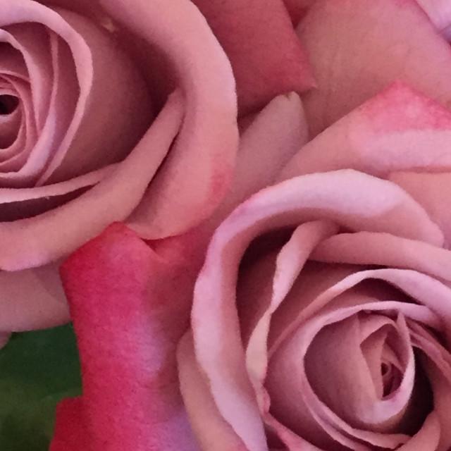 """Lavender Roses"" stock image"
