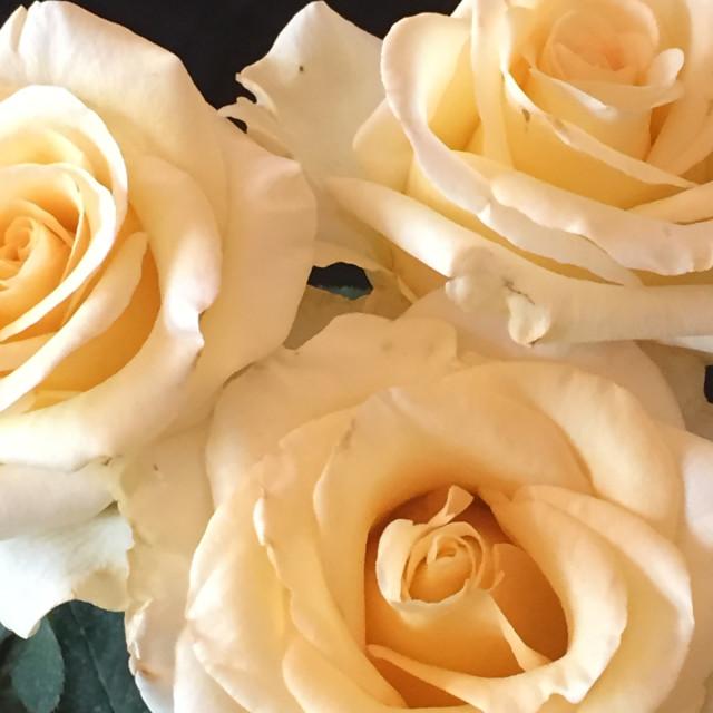 """Three Cream-colored Roses"" stock image"