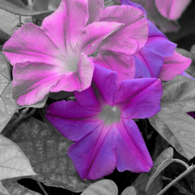 """A Splash of Purple"" stock image"