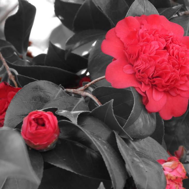 """Red Camellia Splash"" stock image"