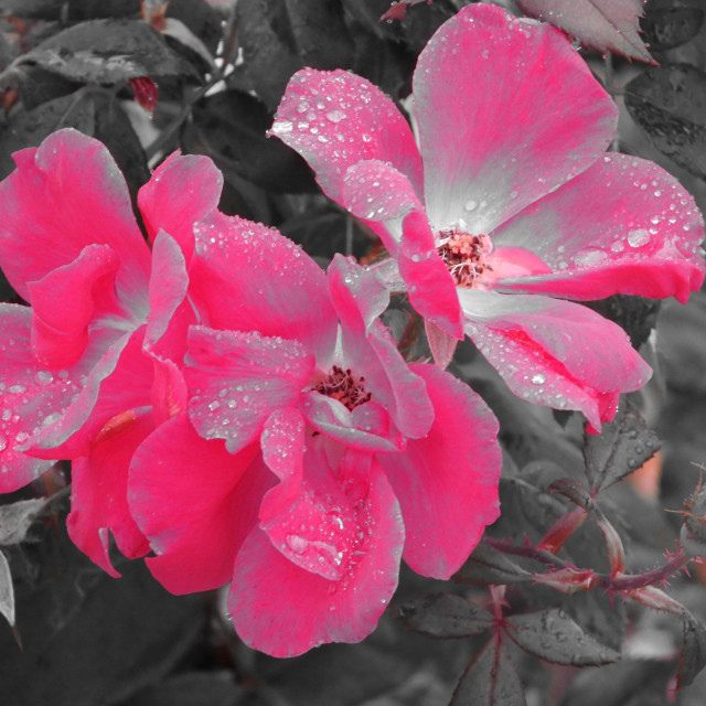 """""""Roses and Rain"""" stock image"""