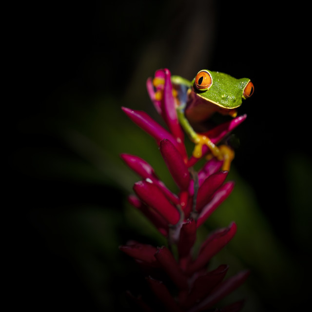 """""""Red-eyed tree frog in the wild in Costa Rica"""" stock image"""