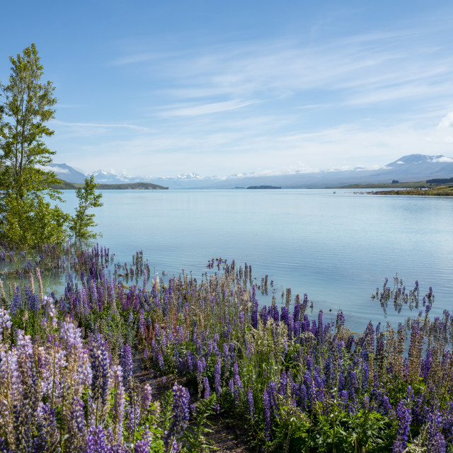 """Lupins at Lake Tekapo in New Zealand"" stock image"