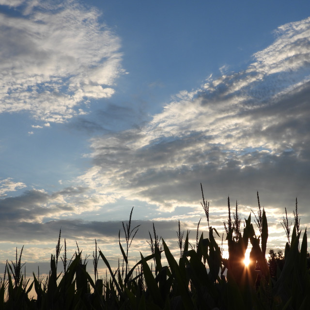 """Sunset through the corn"" stock image"