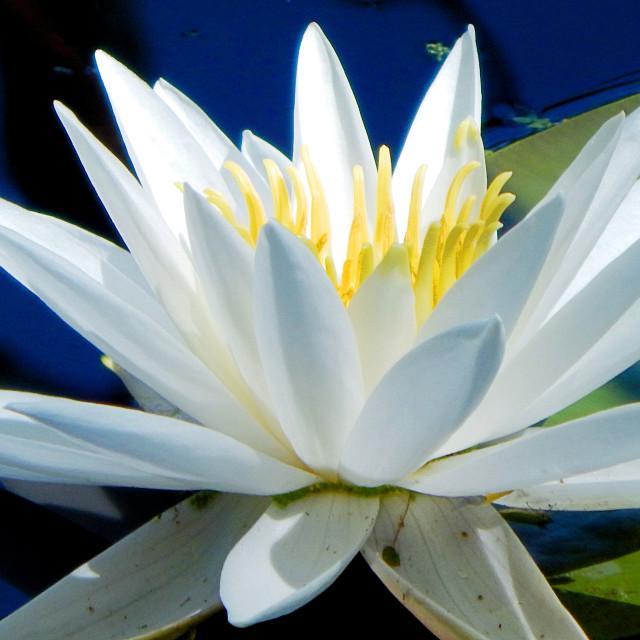 """White Waterlilies - Image 11"" stock image"