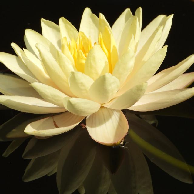 """Cream-colored Waterlily"" stock image"