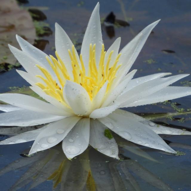 """White Waterlilies - Image 13"" stock image"