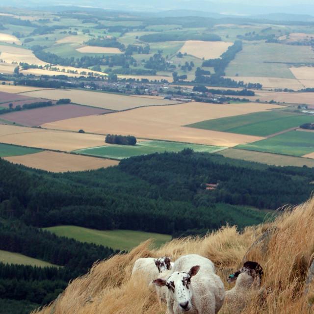 """""""Curious Sheep"""" stock image"""