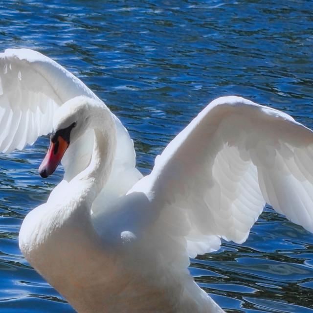"""Beautiful Swan"" stock image"
