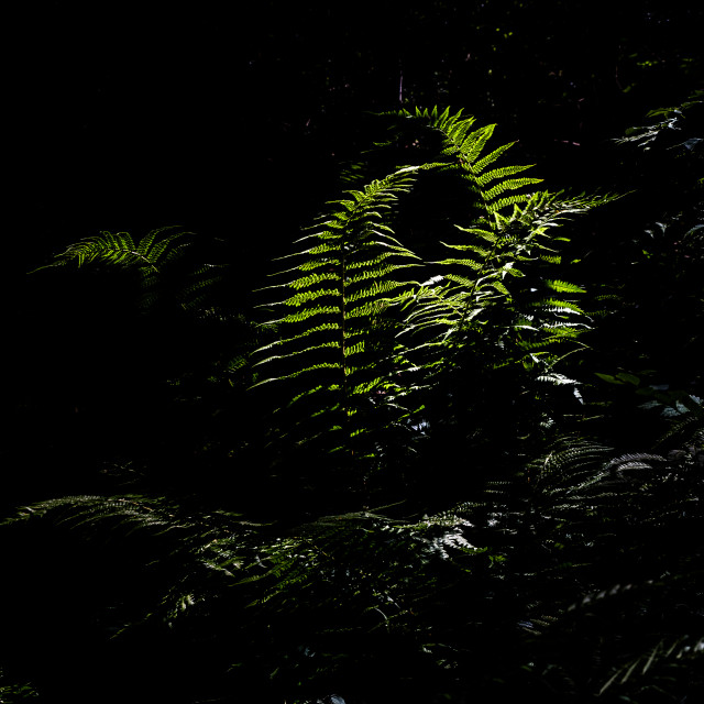 """""""Ferns caught by rays of sunlight"""" stock image"""