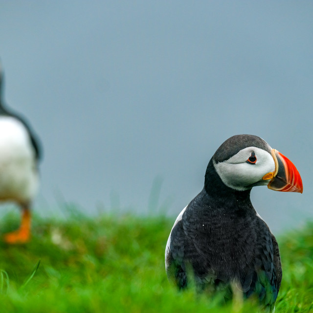 """""""Puffin and puffin in the background"""" stock image"""