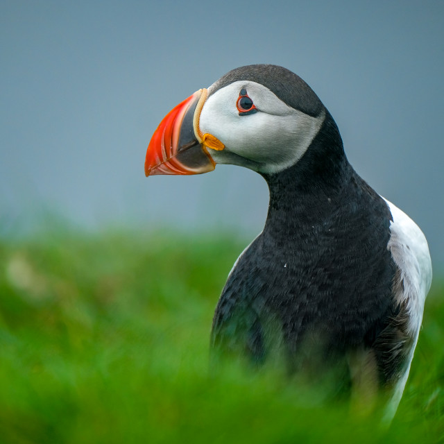 """""""Perfect Puffin Pose"""" stock image"""